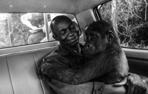 Morremos com essa foto premiada de uma gorila sendo resgatada