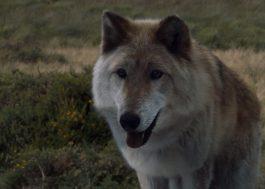 """Cão que interpretou o lobo Summer em """"Game of Thrones"""" morre aos 10 anos"""